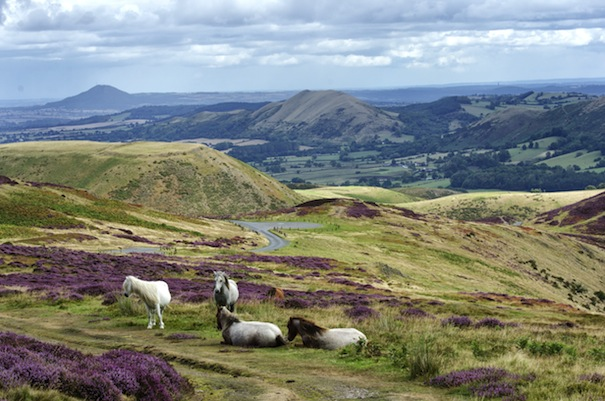 6 Wild Ponies on The Long Mynd