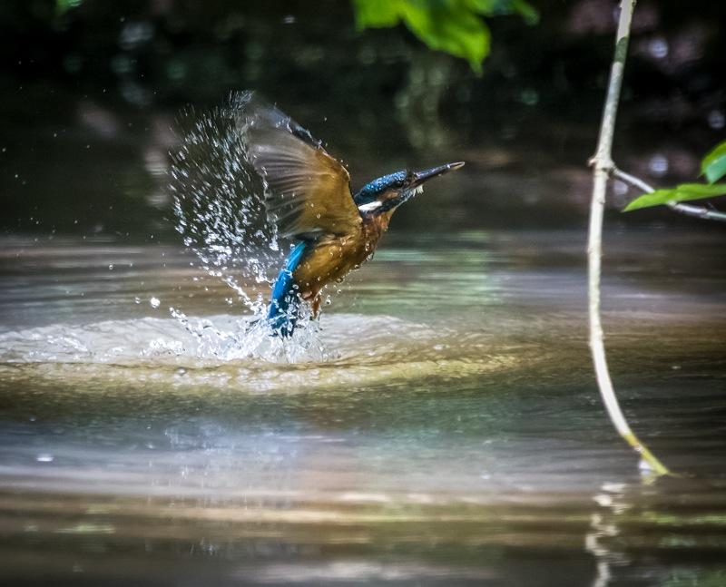 kingfishers 2 7d-62-Edit