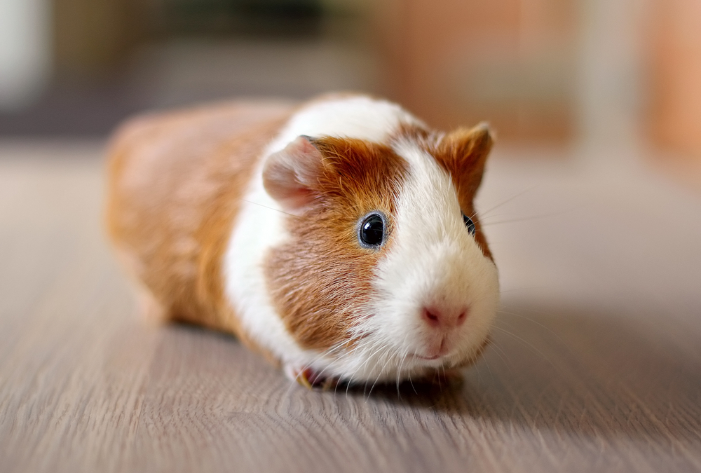 animal care - guinea pigs