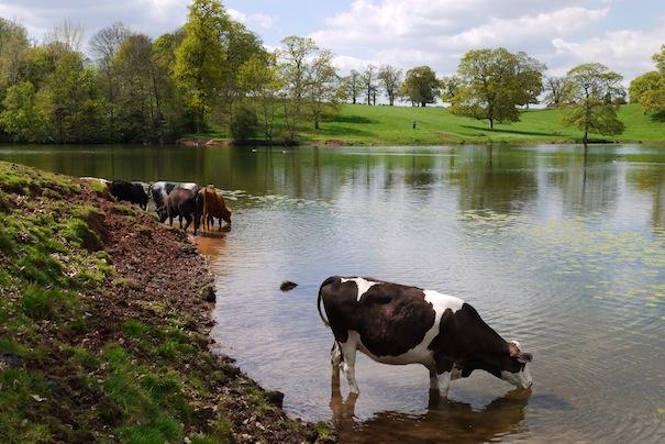 Cows dudmaston