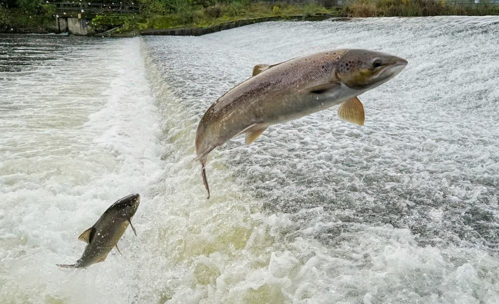 Nature salmon leaping1 - credit Robin Bennett