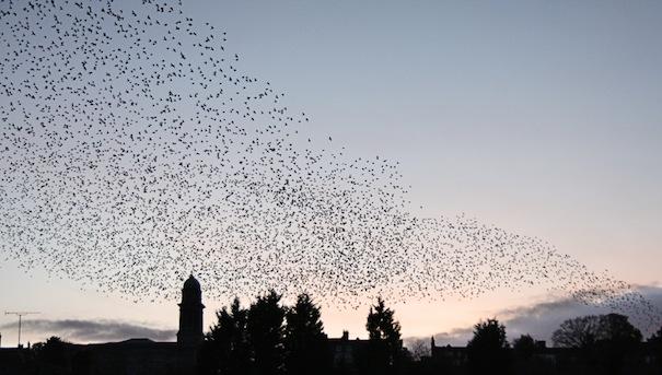 Starlings over Bridgnorth