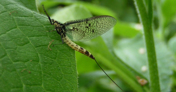 The magic of the mayfly