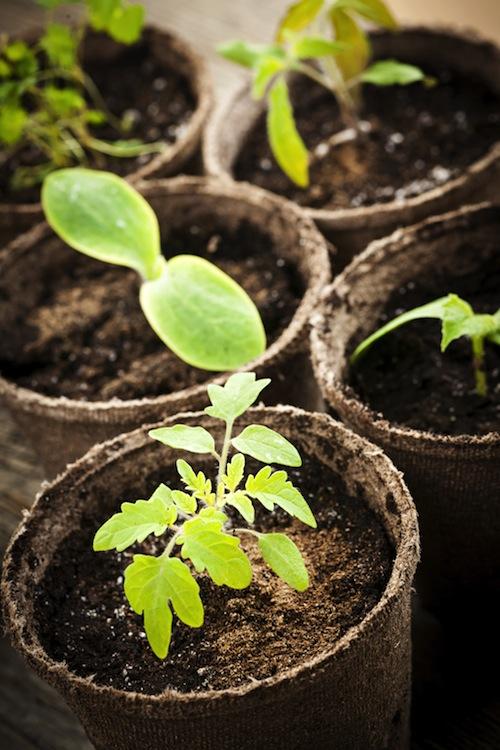 tomato_seeding
